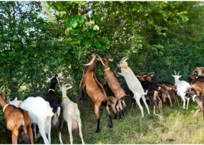 photo-chèvres