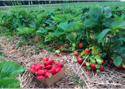 photo-fraises