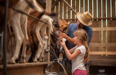 chèvres traite